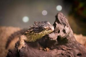 lagarto cintado na madeira. foto