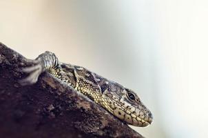 O lagarto