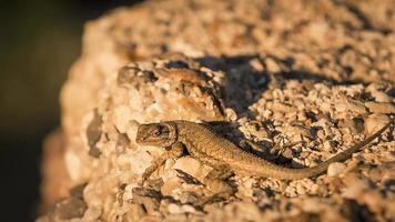 sagebrush lagarto sceloporus graciosus utah foto