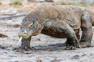 dragão de komodo grande na ilha de rinca