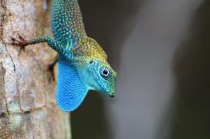 anole-de-garganta-azul foto