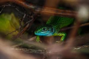 lagarto verde ocidental foto