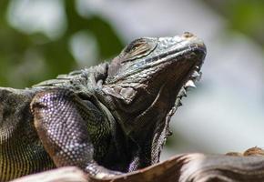 retrato de um lagarto foto