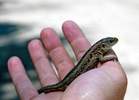 lagarto na mão foto
