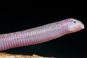 lagarto-verme / diplometopon zarudnyi foto