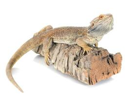 dragões barbudos foto