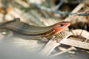 lagarto de cabeça vermelha na Flórida foto