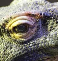 olho de dragões foto