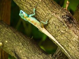 lagarto de árvore