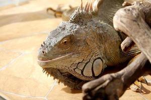 retrato fantástico close-up de iguana tropical. foco seletivo, foto