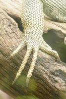 iguana marinha