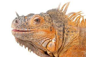 retrato de close-up de iguana. foto