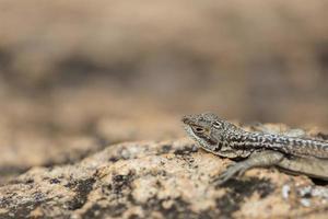 retrato de cabeça de lagarto chapeado três olhos na reserva de rocha de madagascar foto