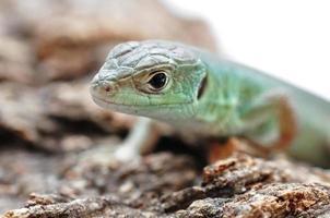 lagarto verde europeu