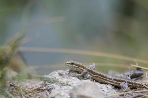 pequeno lagarto vivparoso foto