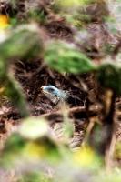 esconderijo de iguana