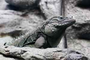 iguana olhando foto