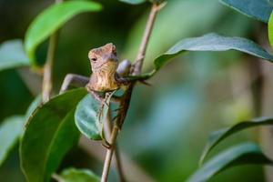 lagarto de camaleão marrom assustador foto