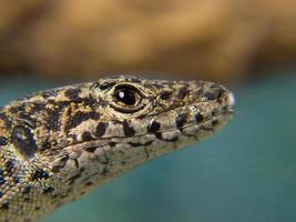 cabeça de lagarto em primeiro plano foto