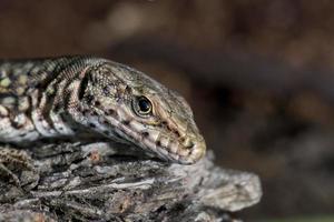lagarto isolado, olhando para você macro
