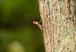 drago voador comum (drago volans) foto