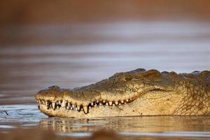 crocodilo do nilo foto