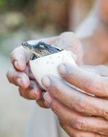 crocodilo vive ovos em mãos humanas foto