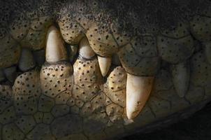dentes de crocodilo foto