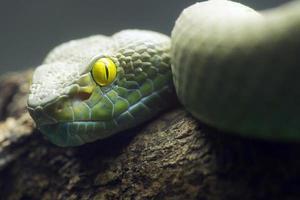 olhos grandes pit viper
