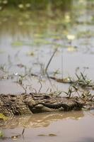 coccodrillo nelle acque di un lago