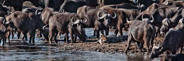 buffalos vs crocodile foto