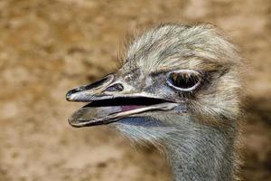 avestruz pássaro que não voa foto