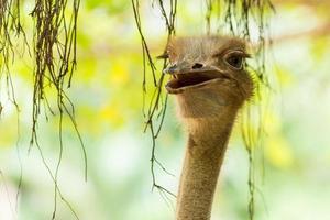 pássaro de avestruz. foto