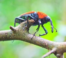 insetos besouro laranja em florestas tropicais Tailândia foto