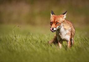 raposa vermelha (vulpes vulpe) foto