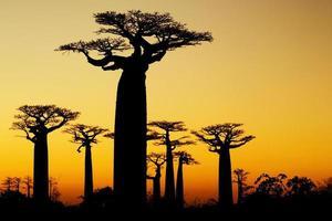 silhueta do pôr do sol de baobás