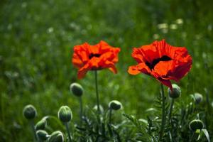 par de tulipas vermelhas no campo verde foto