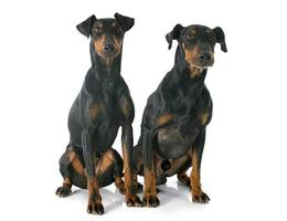 manchester terriers foto