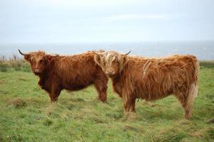 duas vacas das terras altas em caithness