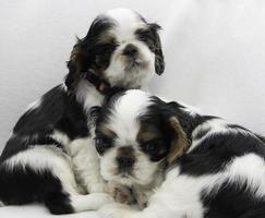 filhotes de cachorro preto e branco