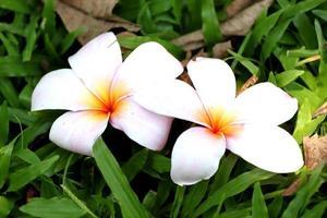 duas flores brancas e amarelas de plumeria. foto