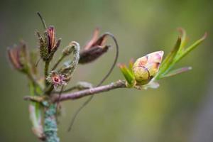 rododendro florescendo