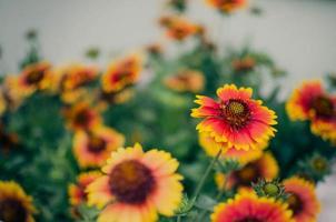 gallardia (flor de manta dourada, flor de cocar) foto