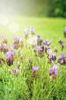 jardim com flor de lavanda com flores frescas foto