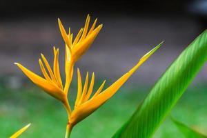 flor ave do paraíso, flor heliconia foto