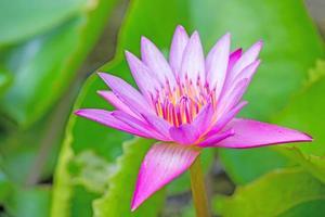 flor de lótus e plantas de flores de lótus