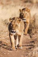 duas leoas se aproximam, caminhando diretamente em direção à câmera, neste foto