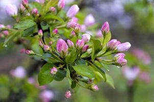ramo de peras com flores cor de rosa na chuva cai foto