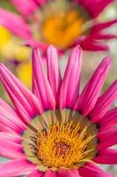 margarida rosa. foto