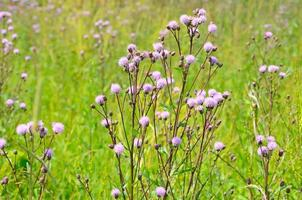 flores de cirsium arvense foto